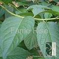 Eucommia Leaf P.E chlorogenic acid