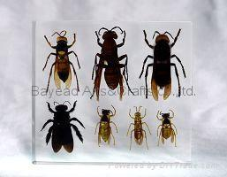 Real insect amber Desktop decoration business Gift insect resin Specimen 5
