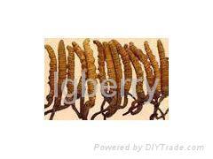 aweto extract/ cordyceps sinensis P.E.