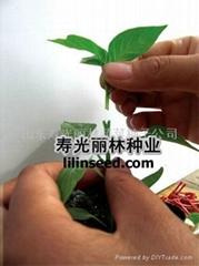 進口辣椒砧木種子