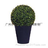供应假植物,瓜子草盆景