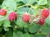 美國雙季紅樹莓