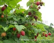 美國紅寶石樹莓