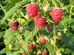 白山市浑江区树莓农民专业合作社