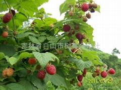 樹莓苗美國紅寶石樹莓