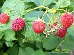 雙季紅樹莓中林18號