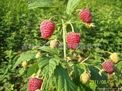 双季树莓英国大果型的秋福