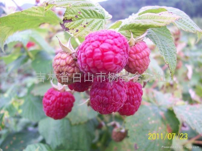 樹莓新品種-帝果 1