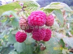 树莓新品种-帝果