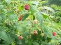 樹莓新品種-帝果 2
