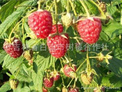 樹莓新品種-帝果 4