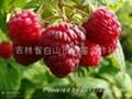 雙季紅樹莓帝果