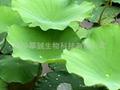 lotus leaf powder