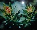 Rhodiola Rosae P. E 5% Rosavins3%