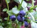 Bilberry P.E. 15%,25% Anthocyanidins