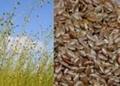 Flaxseed Hull Extract 20%~80% Flax