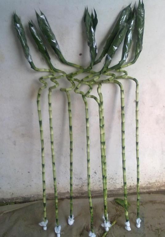 lucky bamboo  4