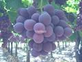 Grapes 3