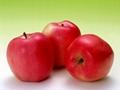apple polyphenols/phloridzin/phloretin
