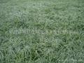 綠化麥冬草