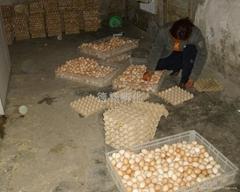 土鸡苗种蛋价格