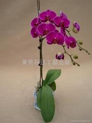 台湾蝴蝶兰