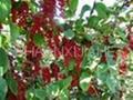 Schisandra Chinensis Extract Powder