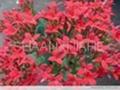 Rhodiola Rosea Extract Powder