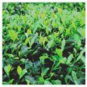 green tea extract 1