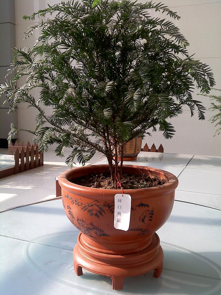 红豆杉盆景(环口鱼缸)