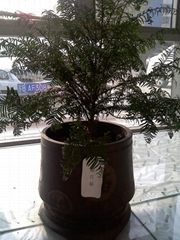 红豆杉盆景(矮百福)