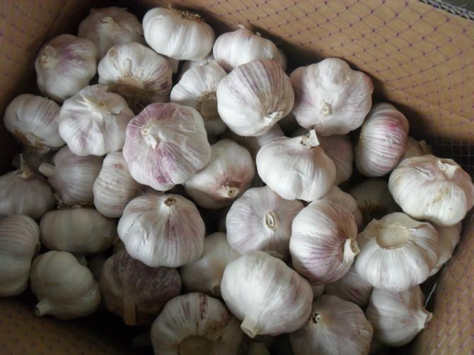Normal white Garlic 1