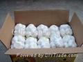 garlic chinese from shandong garlic producer 2