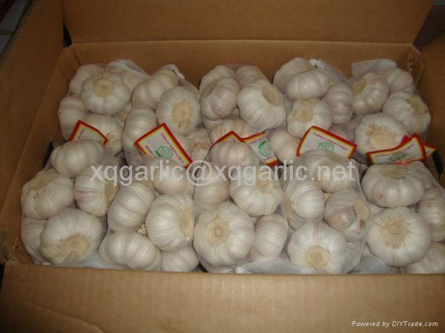 fresh natural garlic 1