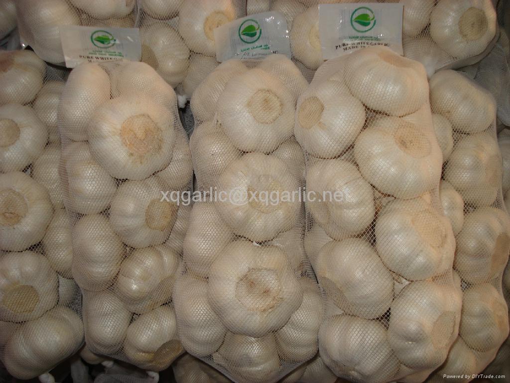 fresh natural garlic 2