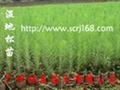 優質改良濕地松(高脂松) 1