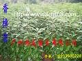 樟樹苗 1