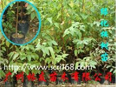 大袋綠化桉樹苗