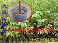 大袋綠化桉樹苗 2
