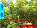 黃槐樹苗 1