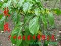 秋楓樹苗 1