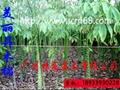 美麗異木棉樹