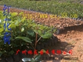 紅花荷樹苗