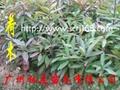 荷木樹苗 1