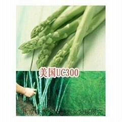 芦笋种子销售//出售优质芦笋种子