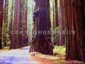 进口北美红杉种子