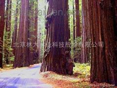 進口北美紅杉種子
