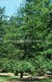 进口墨西哥落羽杉种子
