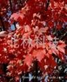 美国红枫种子 1