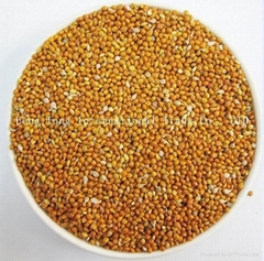 Yellow Millet in Husk